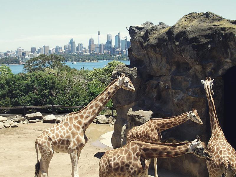 Giraffen mit Weitsicht