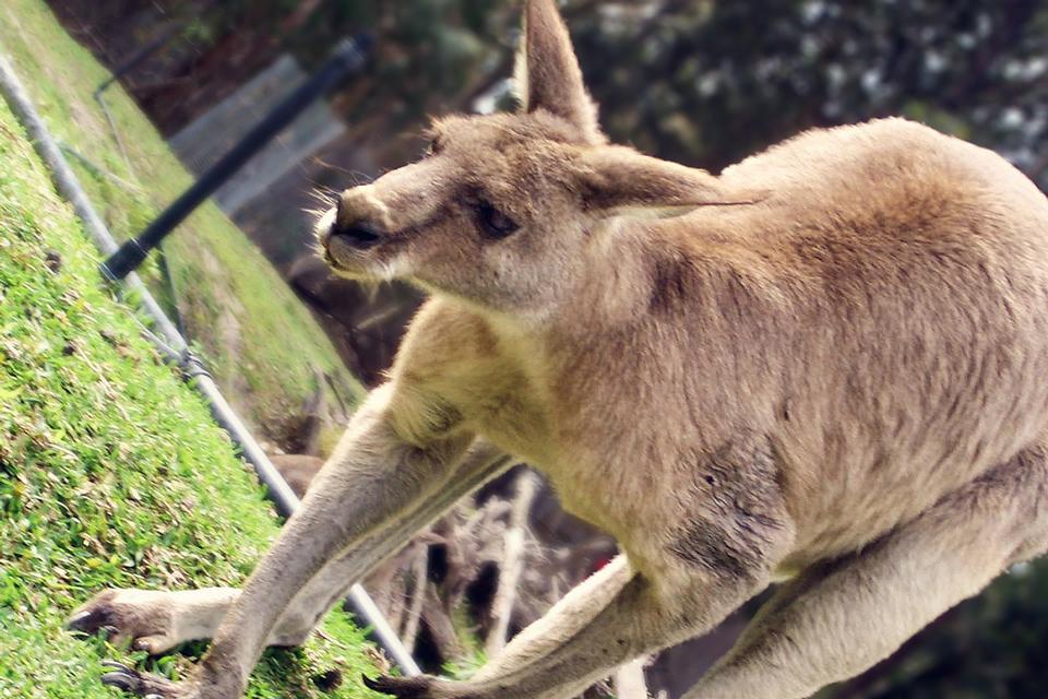 Riesen-Känguruh